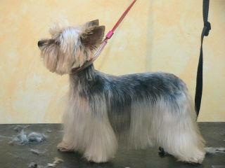 Galerie photos frederique frizou - Modele de coupe pour yorkshire terrier ...